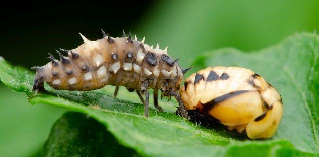 larva a kukla berušky, slunéčka