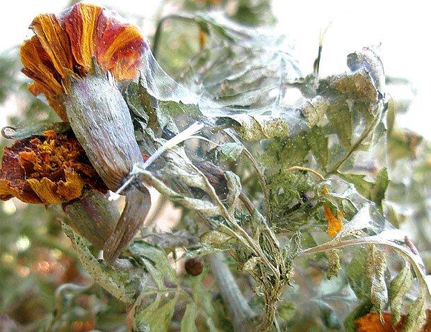 rostliny napadené svliluškami