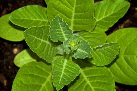Tabák má kopinaté řídce ochlupené listy.