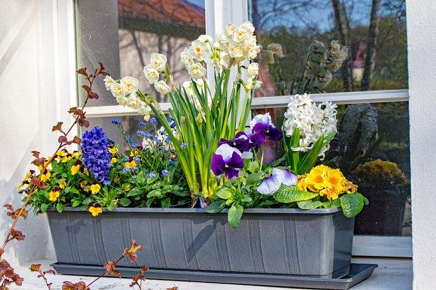 Velmi pestrý jarní truhlík - kombinace květin prodlouží atraktivní vzhled.