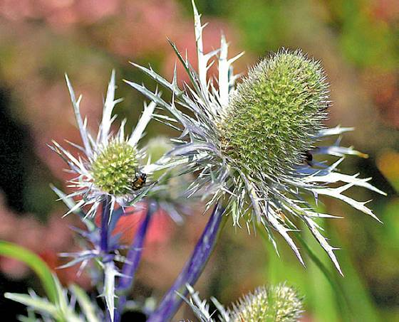 Eryngium alpinum, odrůda 'Amethyst' má modrofialové lodyhy i květenství