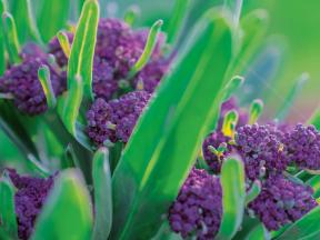 Fialová výhonková brokolice