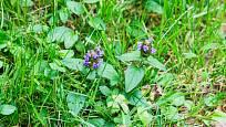 Černohlávek obecný (Prunella vulgaris).