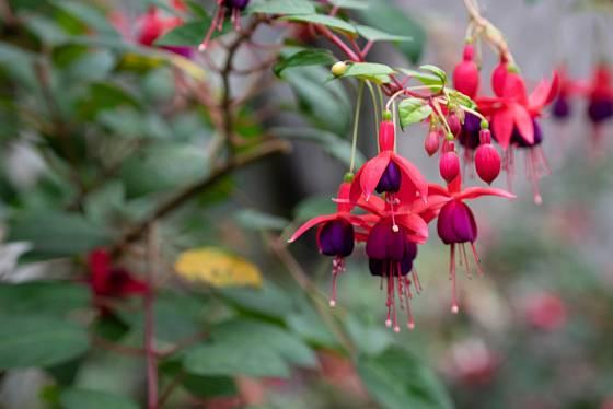 Fuchsie kvetou až do pozdního podzimu