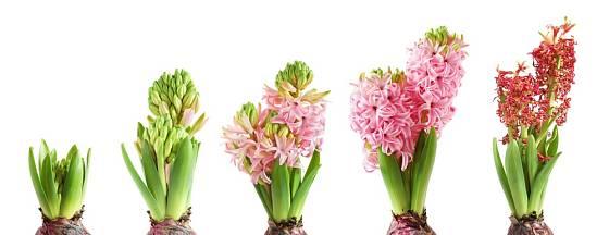 Postupné rozkvétání hyacintu.