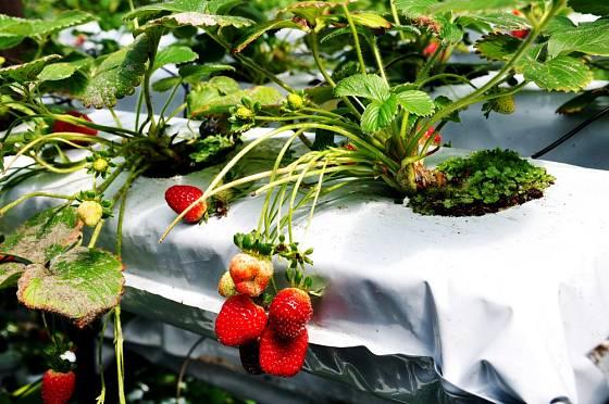 Speciální pytle naplněné kvalitní zeminou určené pro pěstovní jahod.
