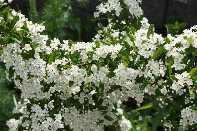 Zjara je hlohyně obsypaná květy, které lákají motýly, včely a čmeláky