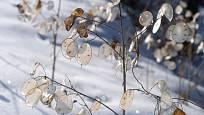 Suchá měsíčnice roční patří k okrasám zimní zahrady.