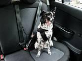 Cestuje-li pes v autě na zadním sedadle, musí mít speciální pás.