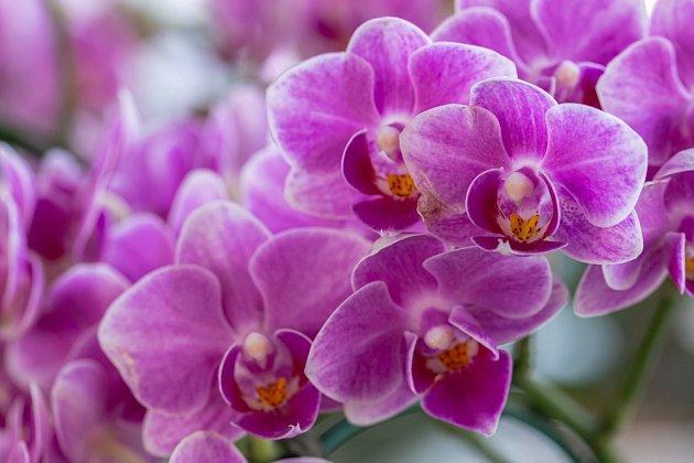 Orchidej je v současné době je nesmírně oblíbená!