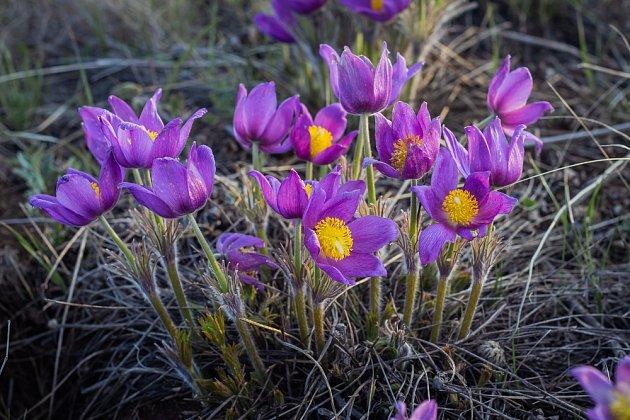 Koniklec jarní miluje slunce a ve volné přírodě se mu daří na slunných vápencových skalách.