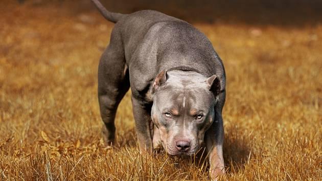 Americký pitbulteriér. Tento zdravý a statný pes neoplývá zrovna nejlepší pověstí