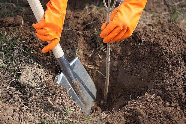 I stromky zasazené v první půlce listopadu do zimy zakoření