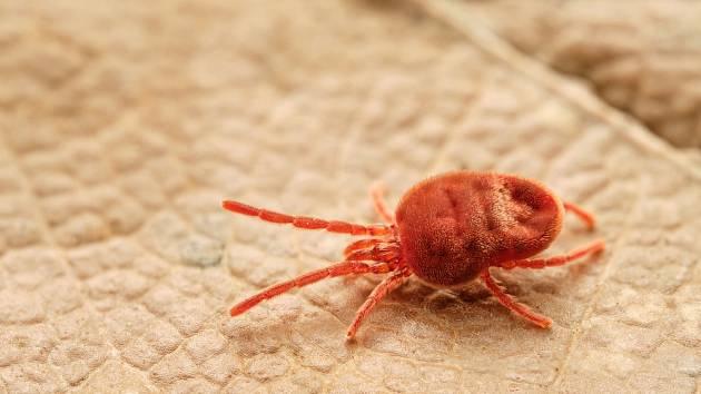 Nepříjemný parazit léta s názvem sametka napadá jak člověka, tak všechny savce