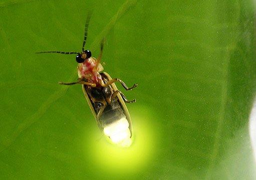 světluška - je nejúspornější přírodní žárovkou