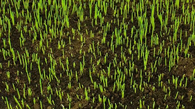 První klíčící rostliny nového trávníku se objeví přibližně za dva týdny.