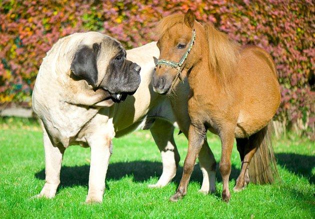 Velký pes a malý kůň - anglický mastif s poníkem.