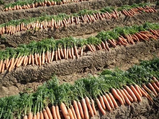 Podzimní výsevy zajistí časnou úrodu kořenové zeleniny