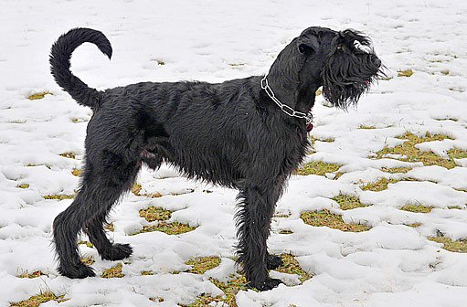 V novodobé historii se střední knírači používali jako služební psi, hlídači nebo jen jako společníci