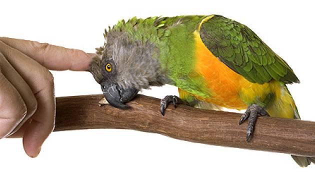Papoušek senegalský