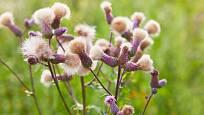Z každého květenství pcháče dozraje množství ochmýřených nažek