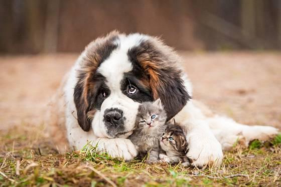 Bernardýni jsou štěňaty fyzicky i psychicky déle než většina psích plemen.