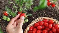 Na sušení se hodí i cherry rajčata