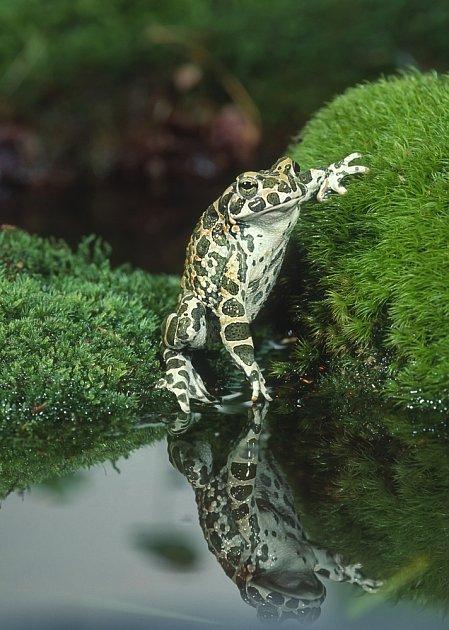ropucha zelená (Bufo viridis)