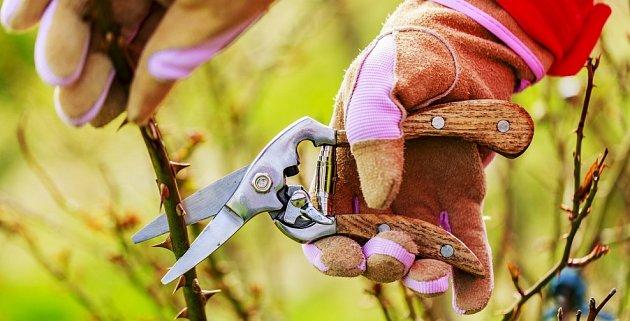 Většině odrůd růží předjarní řez prospěje