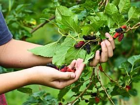 Malé kultivary plodí dříve