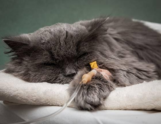 Kočky s dlouhou srstí mívají více smotků chlupů v těle.