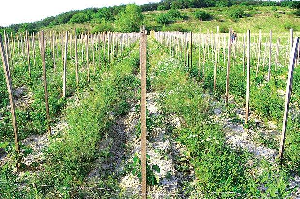 Tradiční výsadba révy v trati Bočky v Němčičkách v hustém sponu