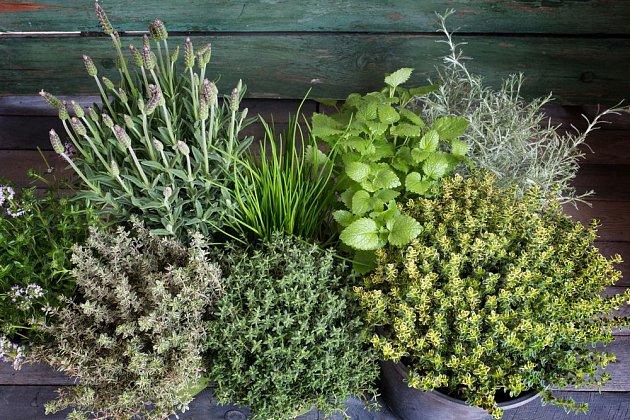 Bylinky lze snadno pěstovat i v nádobách