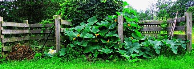 Na kompostu se dýním daří, zároveň ho zastíní a brání před plevelem