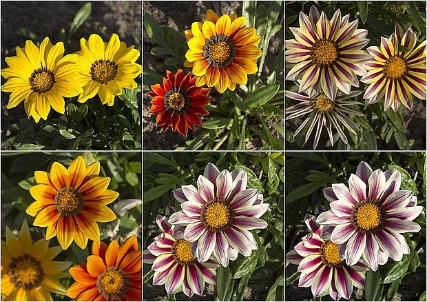 gazánie nabízejí pestrou paletu vselých barev
