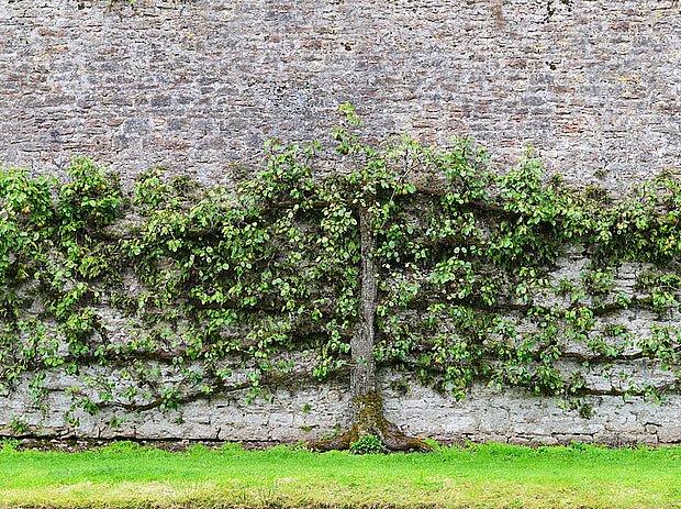 hrušňová stěna