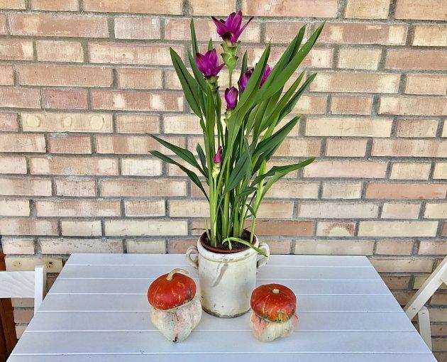 Kurkuma v květináči je vděčná pokojová rostlina.