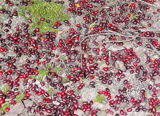 Plody dřínu obecného (Cornus mas)