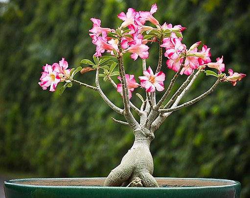 Ve ztlustlém kmínku si poušní růže uchovává zásoby vody a živin
