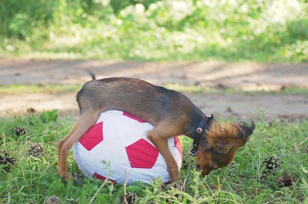 Častým cílem psích choutek se stávají polštáře nebo plyšové hračky