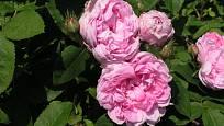 Sadová růže, odrůda Salet