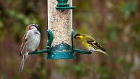 čížek lesní a vrabec domácí na samonásypném krmítku