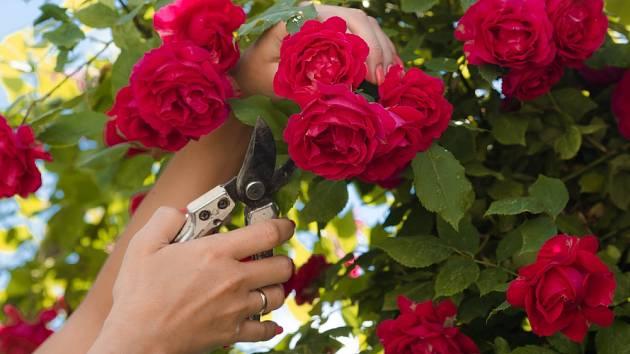 Řízky růží je nejlepší odebrat z keřů na zahrádce.