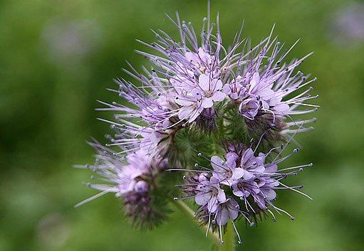 Svazenka vratičolistá je výborné zelené hnojení i pastva včel
