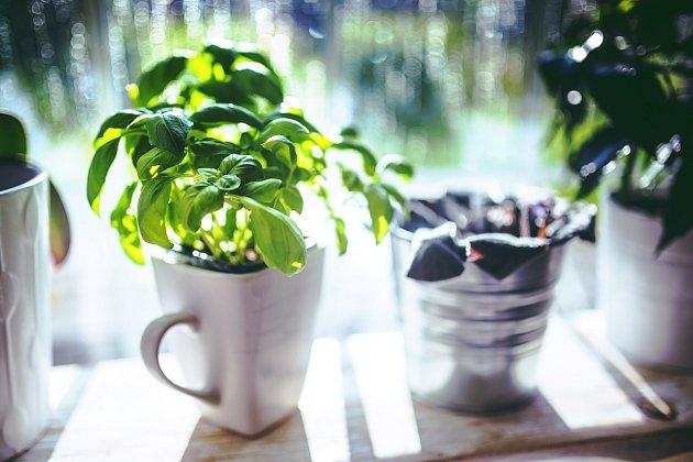 Bazalka - jak vypěstovat bohatou úrodu listů