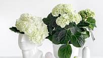 Bíle kvetoucí hortenzie vypadá v bílých nádobách zajímavě.