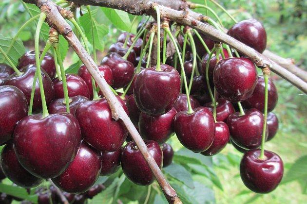 Středně pozdní odrůda třešně Kordia