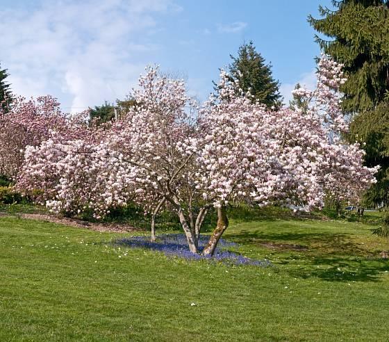 Magnolie v plném květu.