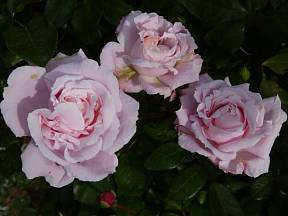 růže odrůdy Constanze Mozart