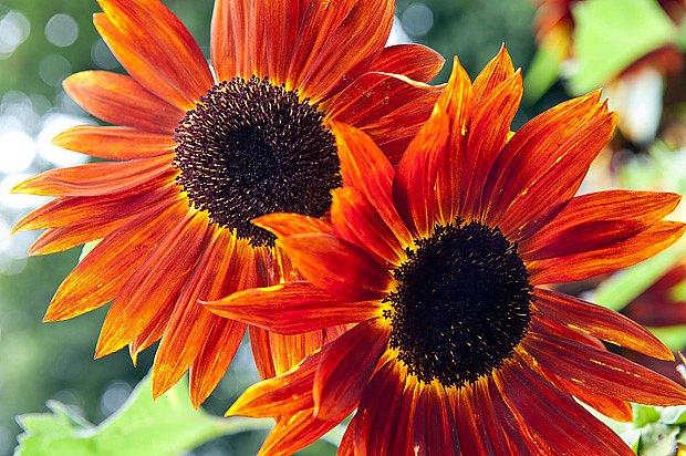 Slunečnice s červenými květy nikdo nepřehlédne